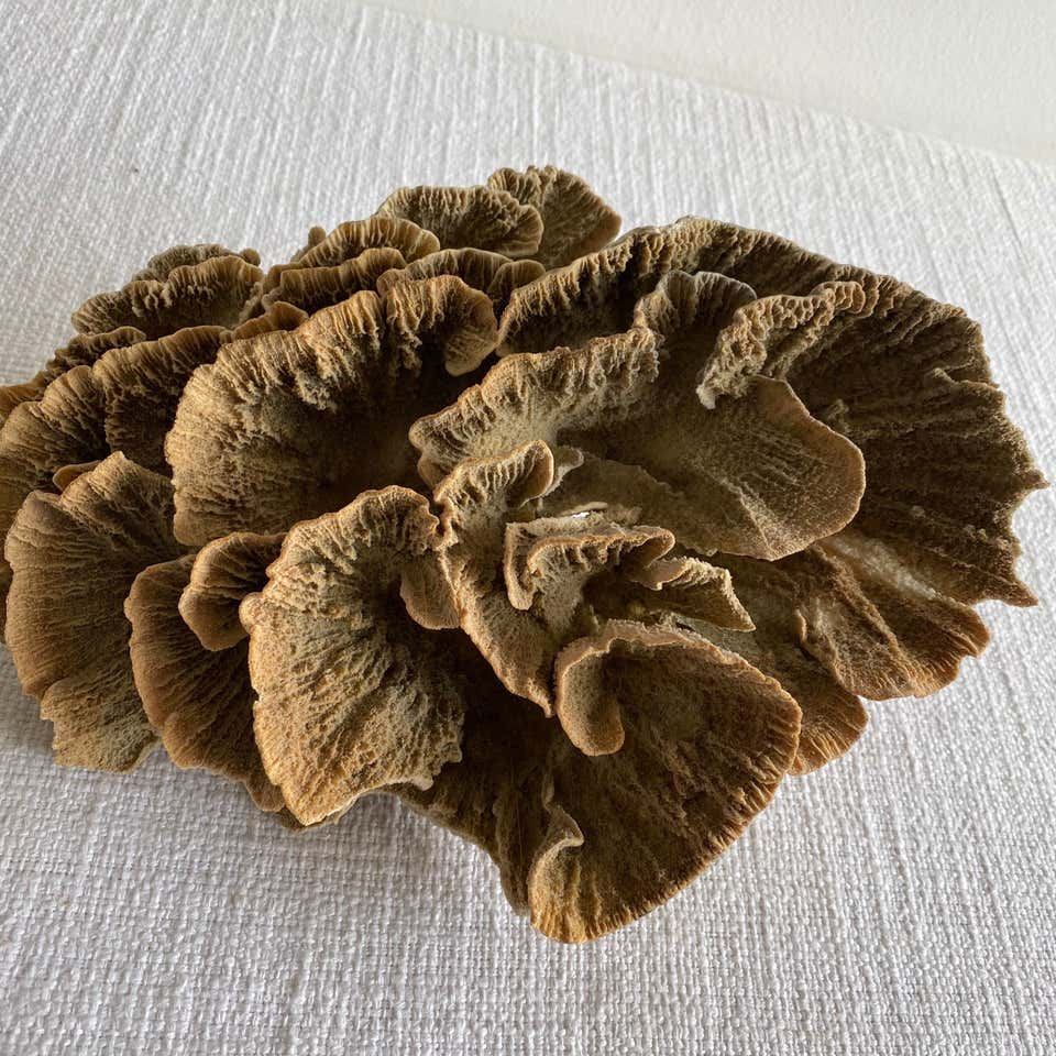Natural Brown Lace Cup Coral