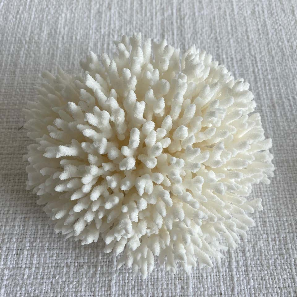 Real White Birds Nest Coral