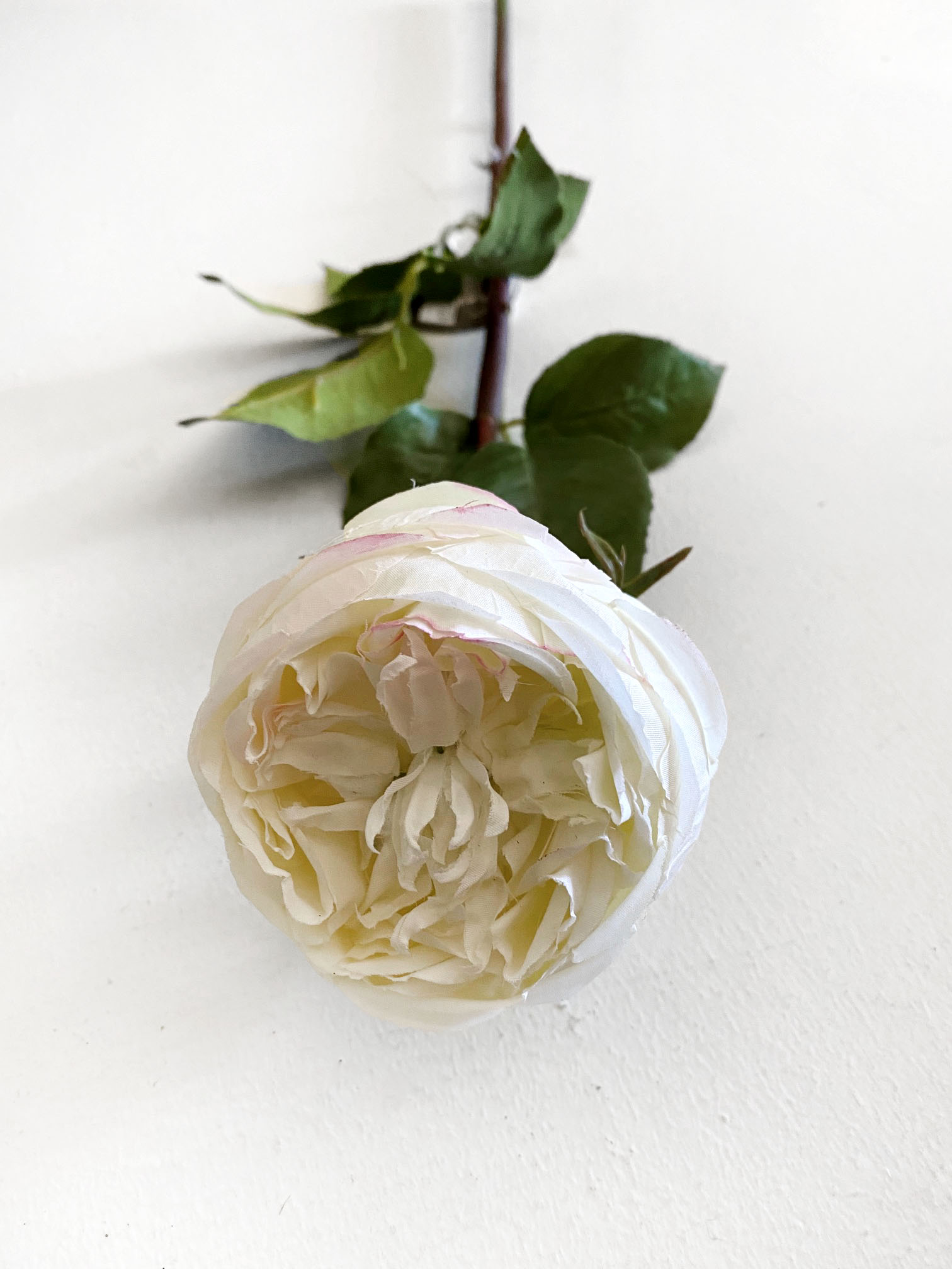 English Champagne Rose
