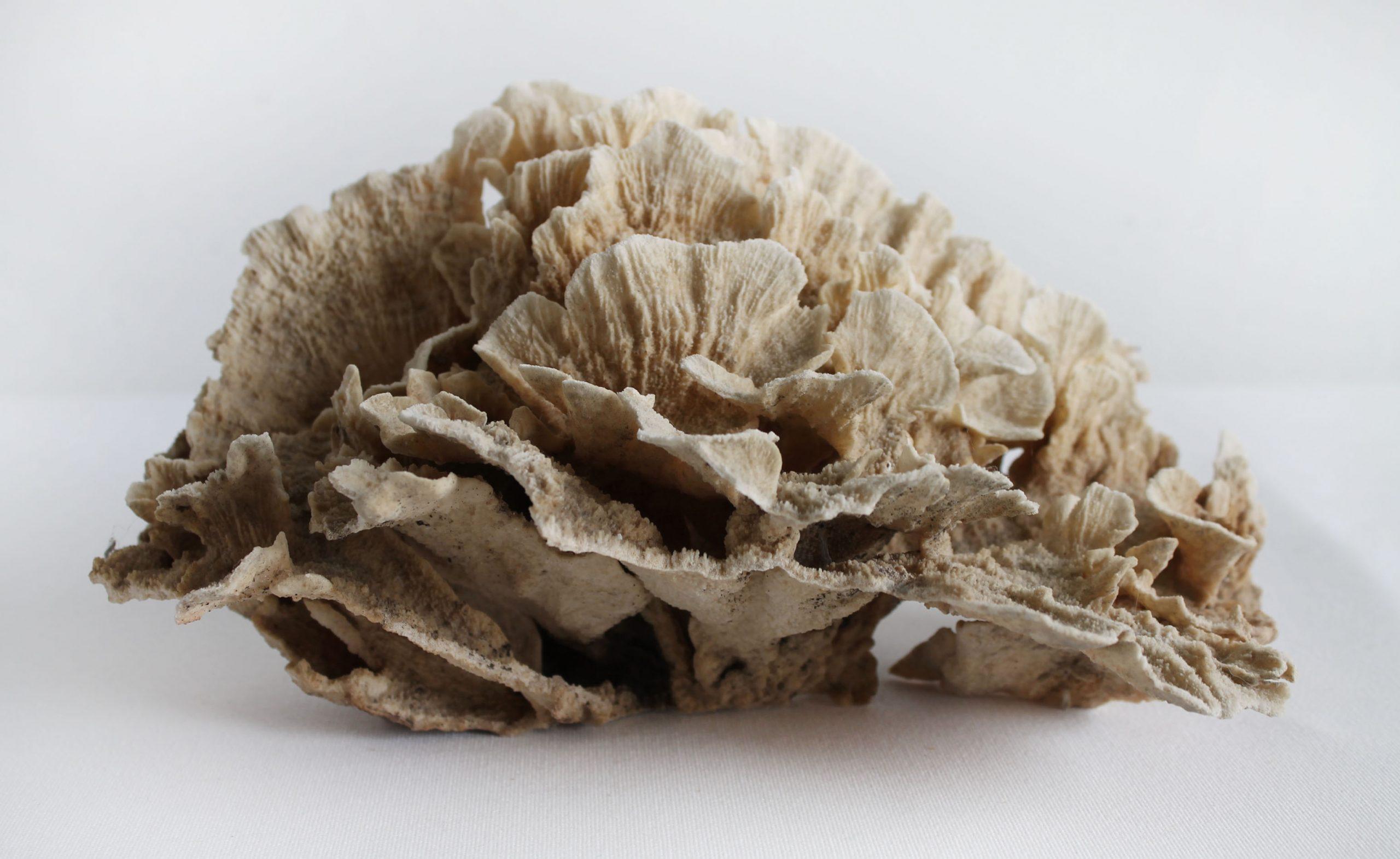 Real Natural Brown Lace Coral